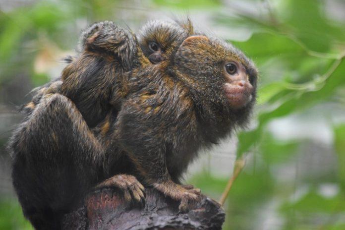 Die Zwillinge auf dem Rücken ihres Vaters Leonardo. Bild: Frauke Wichmann